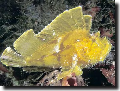 mabul leaf scorpionfish