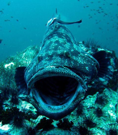 giant-grouper