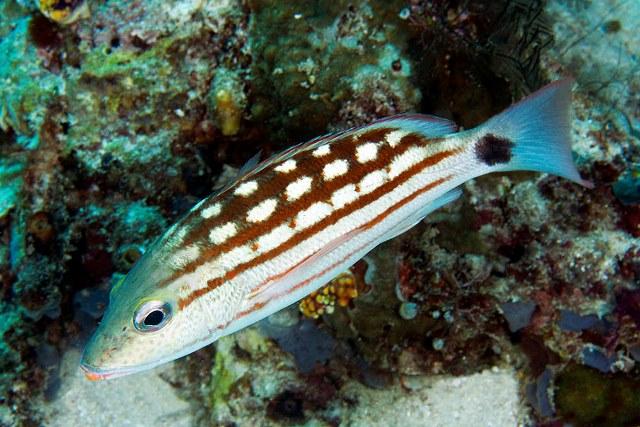 Lutjanus decussatus, Checkered snapper, Kri Eco, Raja Ampat IMG_7237