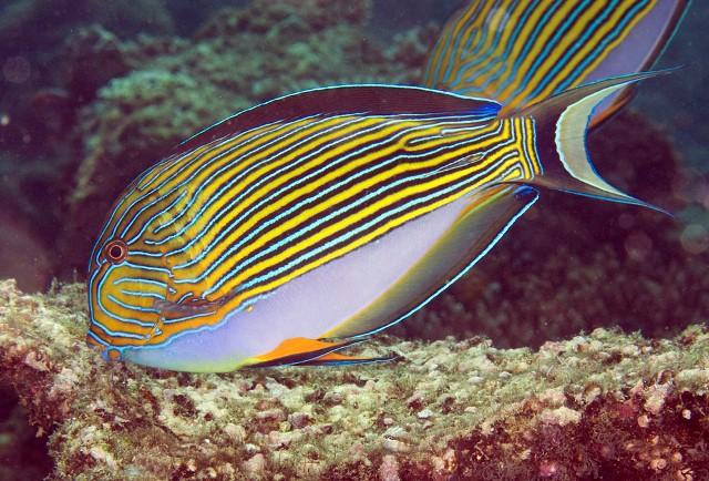 Acanthurus lineatus Striped surgeonfish, Raja Ampat, West Papua MG_2252