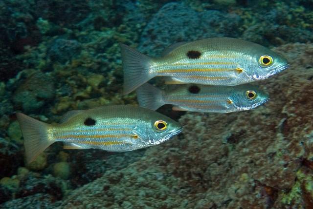 Lutjanus ehrenbergii Blackspot snapper (Lutjanidae) Taveuni, Fiji
