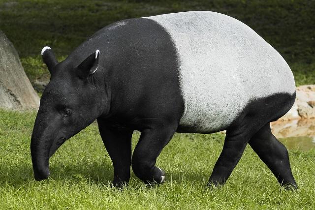 cheprachniy-tapir